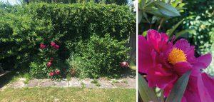 Till vänster: övervuxen trädgård. Till höger: Närbild på en rosa pion