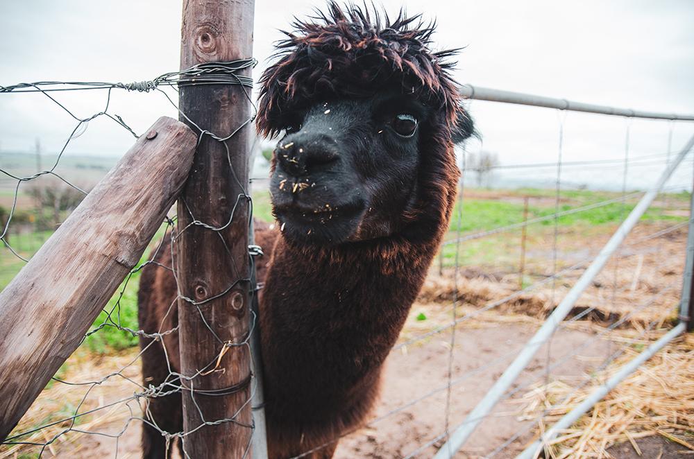 alpackafarm